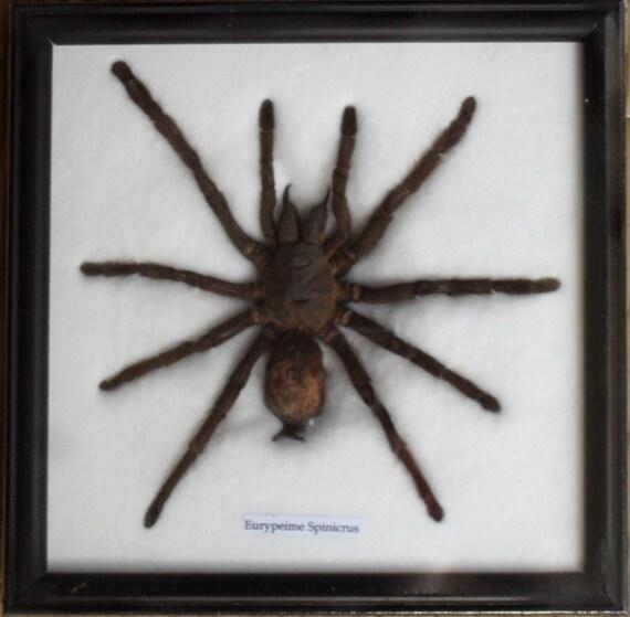 Real Spider Tarantula Taxidermy framed /SP0A