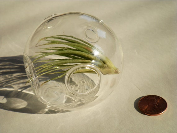 Air plant with Hand Blown Moon Crater