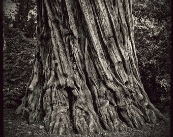 Redwood Tree photo, Bark Black and White Home Decor California photograph
