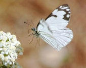 Flying Butterfly Photography, nature wall art photo, white, tan, gray, rustic home decor, butterfly gifts under 25, fine art print
