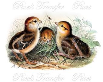 CHICKS CHICKENS Instant Download Digital Download, birds clipart illustration 201