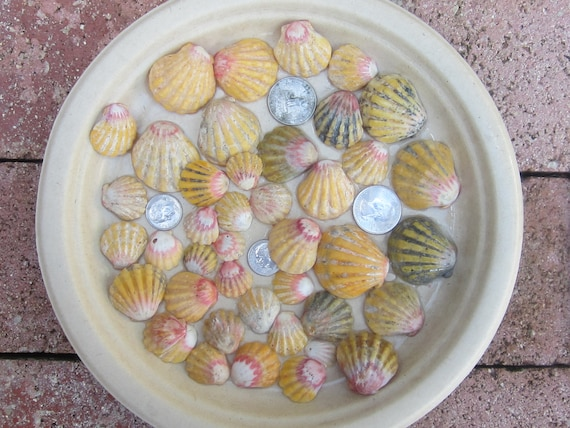 """40 Kauai Sunrise Shell """"Super Special Special"""" Partially Cleaned Shells"""