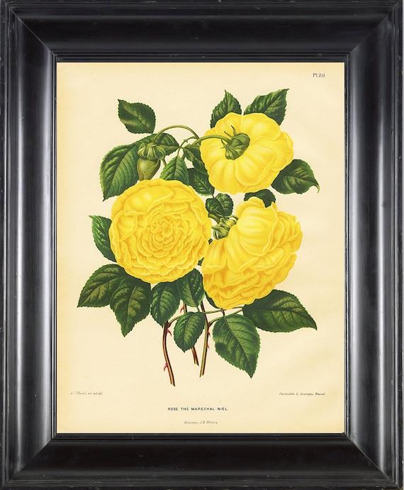 BOTANICAL PRINT Wendel 8x10 Botanical Art Print 51 BeautifulAntique Yellow Rose The Marechal Nie Flower Garden Plant Interior Design