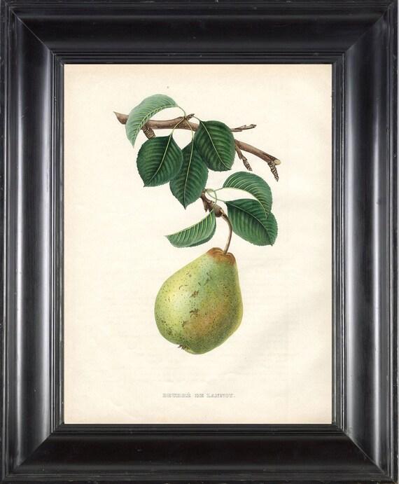FRUIT PRINT Bivort 8X10 Botanical Art Print 5 Antique Beautiful Green Pear Tree Branch Leaves Home Garden Decor