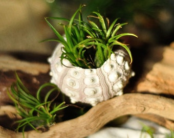 10 Air plant sea urchin favors or decorations