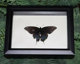 Black Swallowtail Butterfly 3