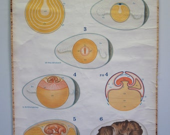 Belgian Vintage School Chart of Chicken Egg Gestation