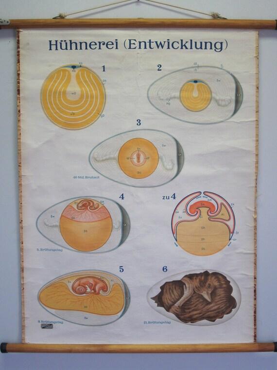 Belgian Vintage School Chart of Chicken Egg Gestation