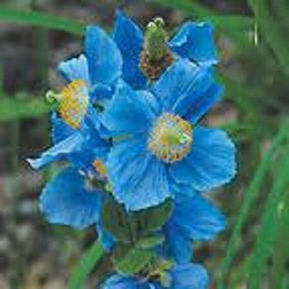 Rare Blue Poppy, Himalayan, Flowering Seed