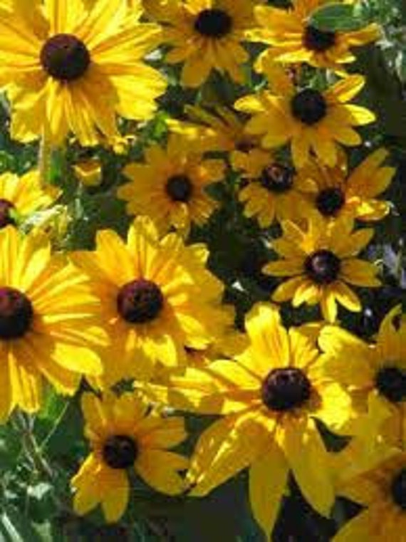 50% off! Black Eyed Susan, Flower Seeds, Daisy Like Flower, Plant a Field, 25 Seeds