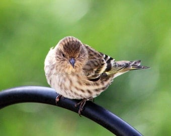 Bird Fabric Block - Pine Siskin Finch At the Feeder Fabric Block