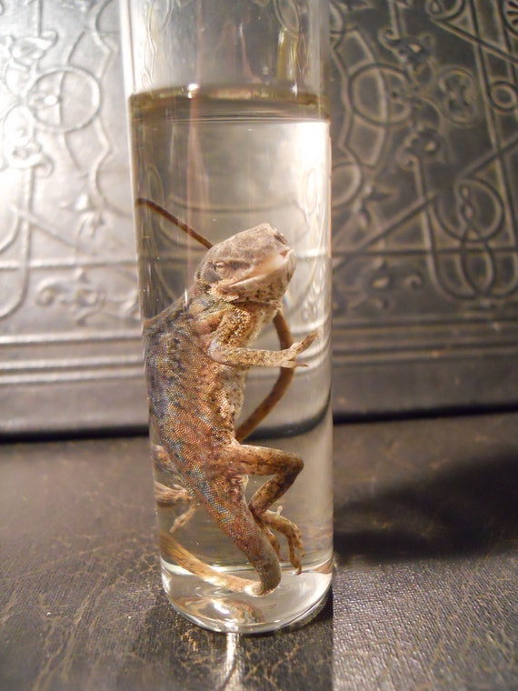 Wet Specimen Chameleon Lizard in a Jar Wet Taxidermy