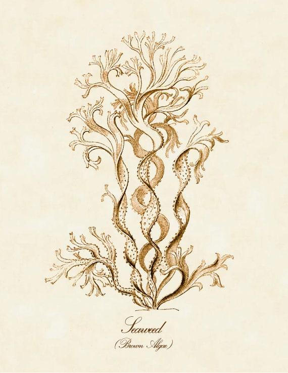 algae illustration brown algae art print brown seaweed poster by 9240