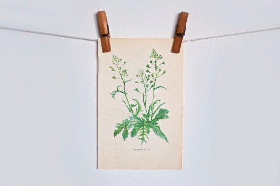 Vintage botanical book page - two-sided