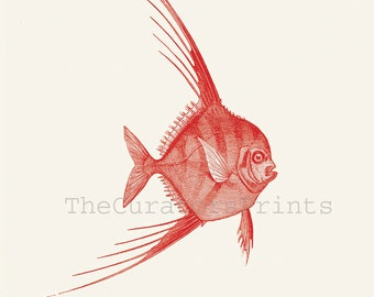 Blepharis Fish Print from a Vintage Illustration