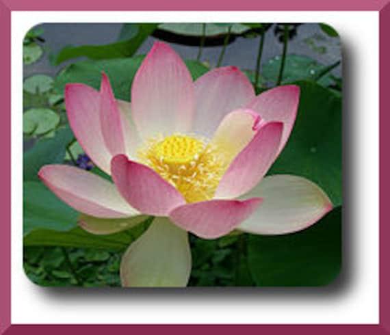 PINK LOTUS - Sacred Lily Pad Aquaponics Water Pond Garden Seeds - 6 Seeds