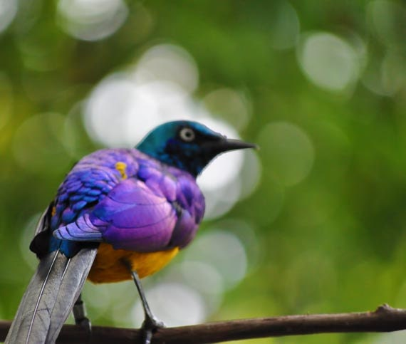 Purple Bird Photo purple and yellow 8 x 10 fine by NulionPhoto