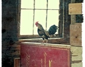 Rooster - Fine Art Photograph - Farm Animal Art Print