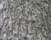 quercus suber - 8X10 inch photo by Sarah Knight, gray tree bark home decor photography