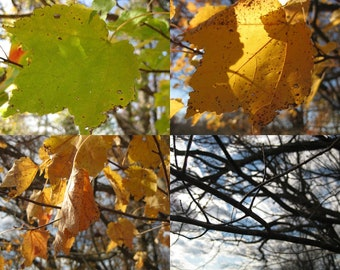 Yellow Maple Leaf  5X7 Photo Set , Art collection, Photo gift set, Nature Home Decor, tree photography, fall foliage, fall colors