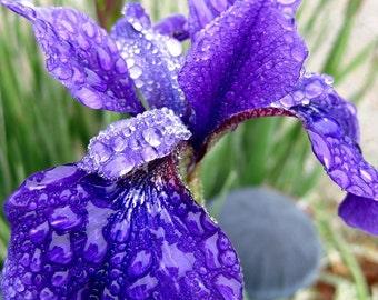 Purple Iris Photo, 8X10 print , Spring Rain Photography, Iris Print, Dew Drop, Photo Wall Art, Nature Home Decor, Gift for Mom, Macro Photo