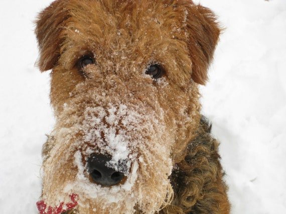 Snow Dog Airedale Terrier 8X10 Photo, Dog Lovers Gift, Pet Photography, dog photography, cute dog, winter photography, nursery animal art