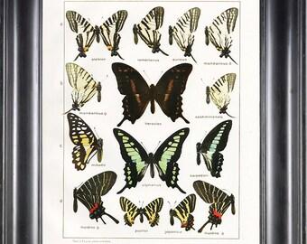 BUTTERFLY PRINT SEITZ  Botanical Art Print 1 Beautiful Butterflies Hercules, Mikado and Cashmiriensis to Frame Wall Decor