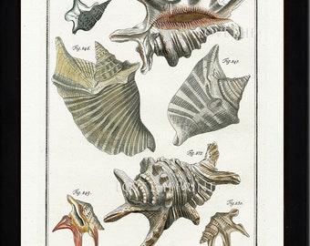 SHELL PRINT MARTINI  Art Print 5 Beautiful Antique Alatae Shells  Sea Ocean Nature to Frame Home Decoration Seashell