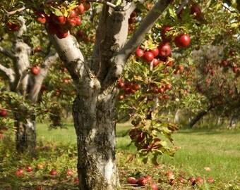 Apple Orchard Photograph Fine Art Home Decor