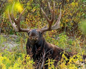 His Majesty--moose, Jackson Hole, Wyoming, bull, Fall, Tetons, photography, fine art