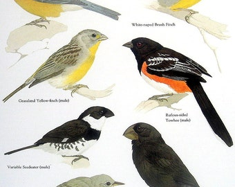 Bird Print -  Patagonina Sierra Finch, Warbler Finch, Large Ground Finch, White Naped Brush Finch - Vintage 1984 Book Page