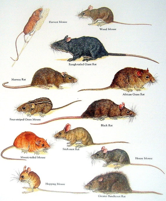 difference between rats and mice