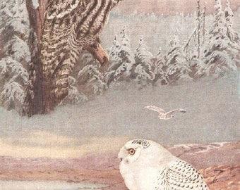 Vintage Bird Print, Book Plate, Owls, Great Gray Owl, Snowny Owl, Allan Brooks, Antique Bird Illustration, 1930s