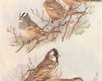 Vintage Bird Print, Book Plate, Sparrows, Gambels Sparrow, Harris Sparrow, Allan Brooks, Antique Bird Illustration, 1930s