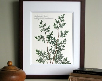 Pressed fern print, 11x14 double matted, Arborvitae woodland fern, wall decor no. 0058