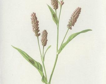 Pink Persicaria, Wild Flower Botanical, Reproduction Antique Botanical Illustration,  Country Cottage Decor, Green Woodland, Edward Hulme