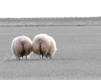 Sheep Photo, Animal Photography, Icelandic Mutton, Grazing in the Field, Pasture, Lovable Pair