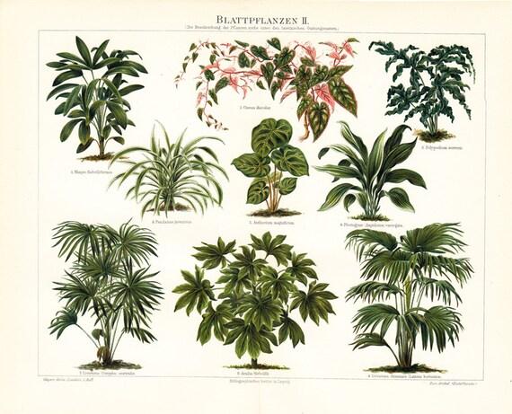 1897 antique GREEN LEAF PLANTS  lithograph, plants, herbs, Livistona, Aralia,Cissus, polypodium. 115 years old nice fine print