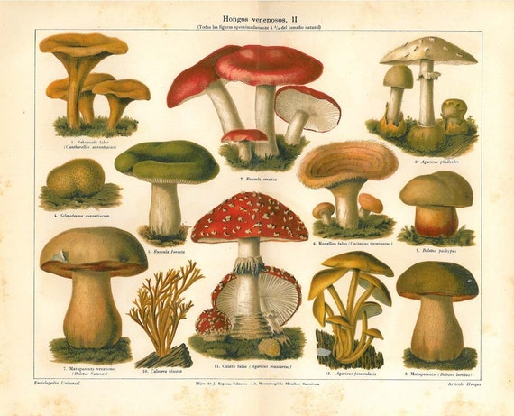 Poisonous Mushrooms Chromolithograph 1920s, Botanical Print, Fungus
