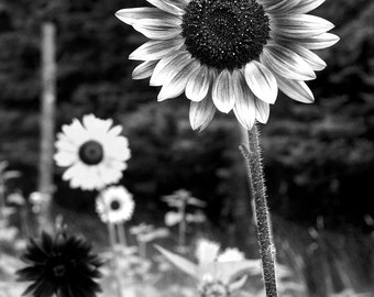 Sunflowers in Field Black White Art Photography Print 16x20 11x14 8x10 5x7