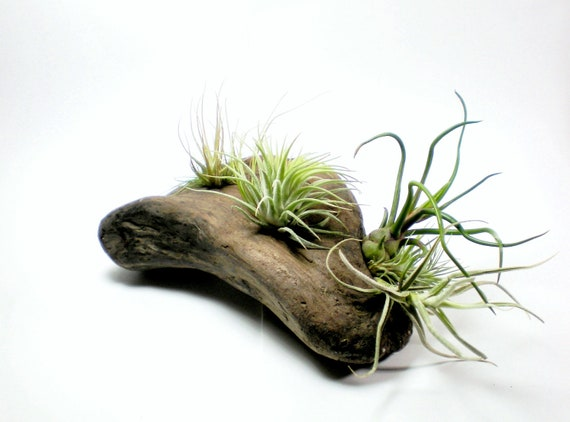 Air Plants on Driftwood: Mounted Tillandsias on Tabletop Garden