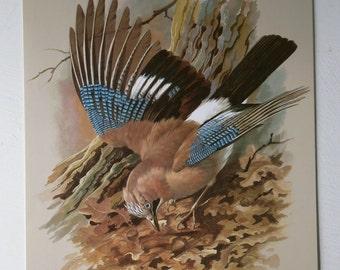 Vintage Bird Print Book Plate Page of Jay printed 1965