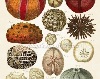 Sea Urchins Print, Beach Shells in Warm Tones, Beach Wall Art, Seashells from Vintage Illustration, Nautical Life, Coastal Living
