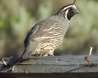 Mr. Quail; Bird Photograph, Quail Photo- affordable art