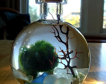 SALE! Live Marimo Balls in Mini Globe Bottle Zen Pet Terrarium