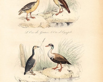 1870  Antique Victorian GOOSE print By BUFFON. 142 years old engraving