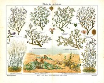 Vintage Botanical Print Desert Plants, 1920s Antique Color Lithograph, Drought Resistant Flora
