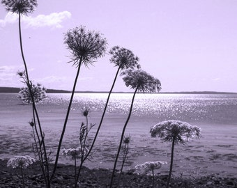 Black and White Photography, Queen Anne Lace, 8x10 Print, Purple Filter