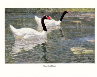 1900s Antique BLACK -NECKED SWAN print, beautiful swans on the lake, naturalist art lithograph