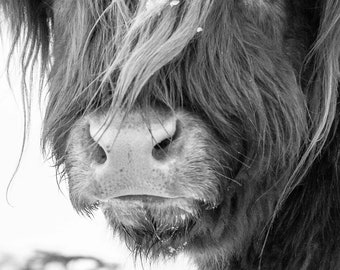 Highland Cattle 5 - Fine Art Photography - Cow - Nature Photography
